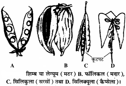 RBSE Solutions for Class 11 Biology Chapter 22 फल तथा बीज img-5