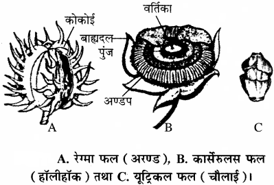 RBSE Solutions for Class 11 Biology Chapter 22 फल तथा बीज img-9