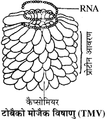 RBSE Solutions for Class 11 Biology Chapter 3 विषाणु या वाइरस