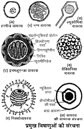 RBSE Solutions for Class 11 Biology Chapter 3 विषाणु या वाइरस img-2