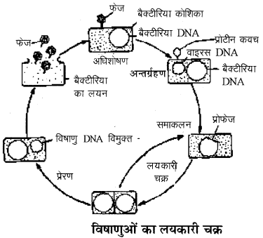 RBSE Solutions for Class 11 Biology Chapter 3 विषाणु या वाइरस img-4