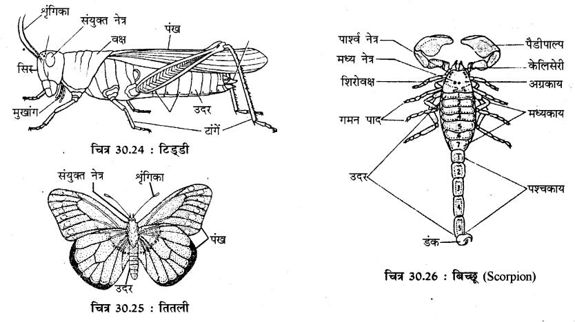 RBSE Solutions for Class 11 Biology Chapter 30 अकशेरुकी जन्तुओं का वर्गीकरण img-5