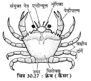 RBSE Solutions for Class 11 Biology Chapter 30 अकशेरुकी जन्तुओं का वर्गीकरण img-6