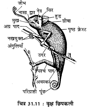 RBSE Solutions for Class 11 Biology Chapter 31 कशेरुकी जन्तुओं का वर्गीकरण img-4