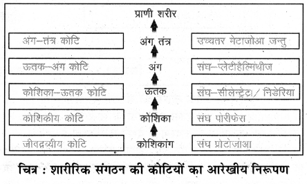 RBSE Solutions for Class 11 Biology Chapter 32 शारीरिक संगठन की कोटियाँ