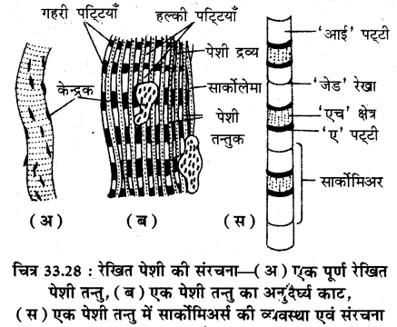 RBSE Solutions for Class 11 Biology Chapter 33 जन्तु ऊतक img-11