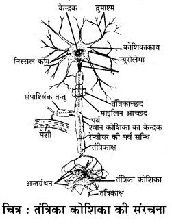 RBSE Solutions for Class 11 Biology Chapter 33 जन्तु ऊतक img-3