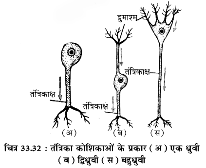 RBSE Solutions for Class 11 Biology Chapter 33 जन्तु ऊतक img-5