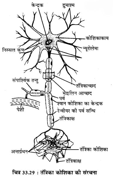 RBSE Solutions for Class 11 Biology Chapter 33 जन्तु ऊतक img-4