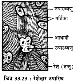RBSE Solutions for Class 11 Biology Chapter 33 जन्तु ऊतक img-15