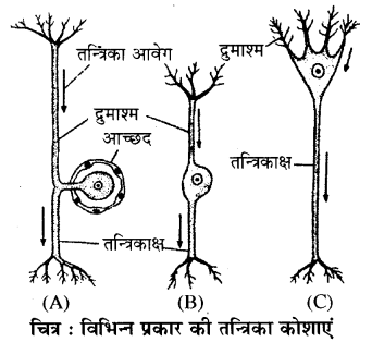 RBSE Solutions for Class 11 Biology Chapter 33 जन्तु ऊतक img-2