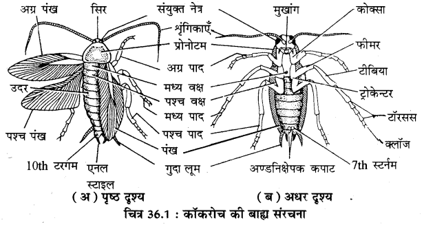 RBSE Solutions for Class 11 Biology Chapter 36 तिलचट्टा img-7