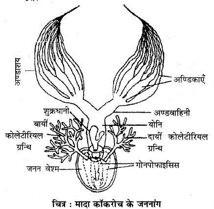RBSE Solutions for Class 11 Biology Chapter 36 तिलचट्टा img-5
