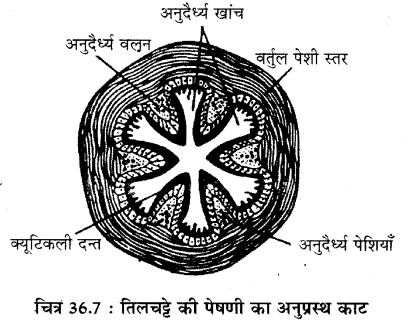 RBSE Solutions for Class 11 Biology Chapter 36 तिलचट्टा img-10