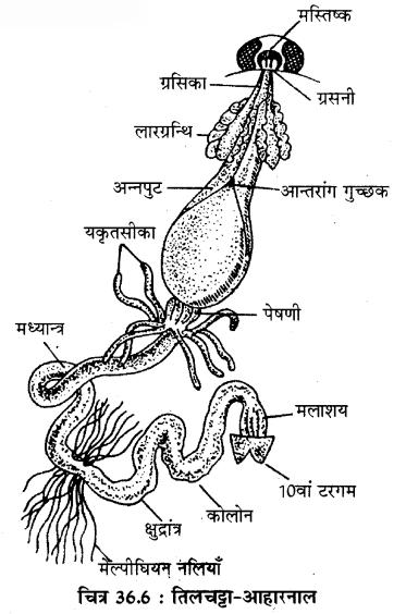 RBSE Solutions for Class 11 Biology Chapter 36 तिलचट्टा img-9