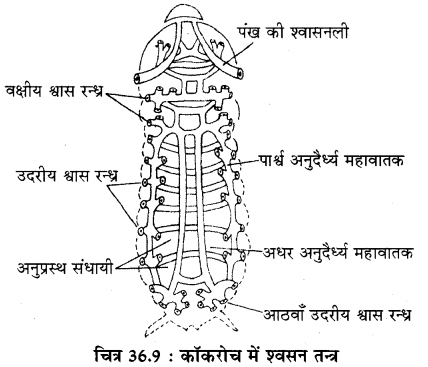 RBSE Solutions for Class 11 Biology Chapter 36 तिलचट्टा img-12
