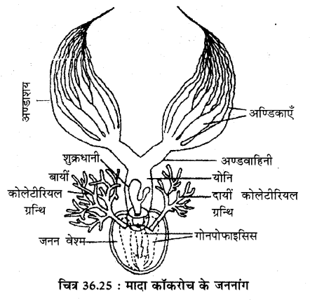 RBSE Solutions for Class 11 Biology Chapter 36 तिलचट्टा img-24