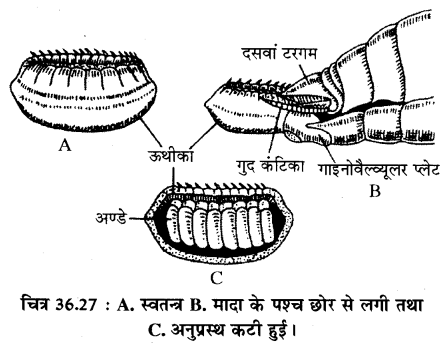 RBSE Solutions for Class 11 Biology Chapter 36 तिलचट्टा img-26