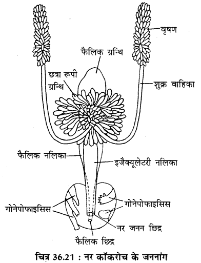 RBSE Solutions for Class 11 Biology Chapter 36 तिलचट्टा img-20
