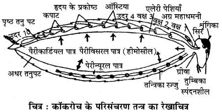 RBSE Solutions for Class 11 Biology Chapter 36 तिलचट्टा img-3