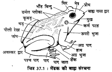 RBSE Solutions for Class 11 Biology Chapter 37 मेंढक img-5