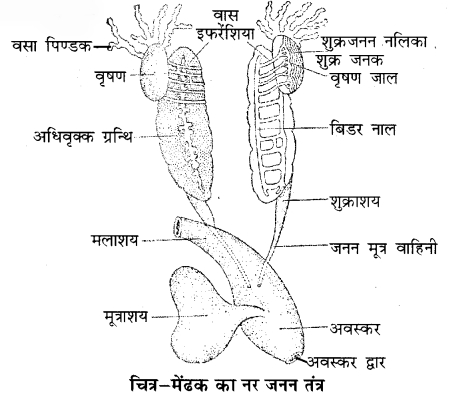 RBSE Solutions for Class 11 Biology Chapter 37 मेंढक img-3