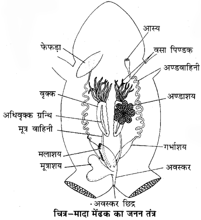 RBSE Solutions for Class 11 Biology Chapter 37 मेंढक img-4
