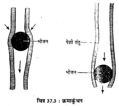 RBSE Solutions for Class 11 Biology Chapter 37 मेंढक img-6