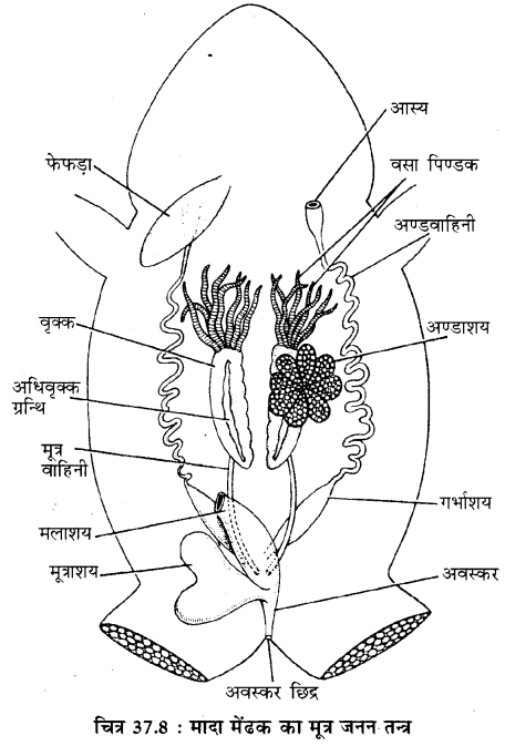 RBSE Solutions for Class 11 Biology Chapter 37 मेंढक img-9