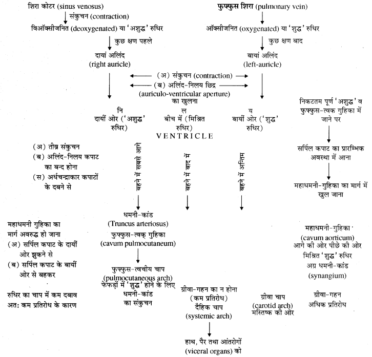 RBSE Solutions for Class 11 Biology Chapter 37 मेंढक img-11