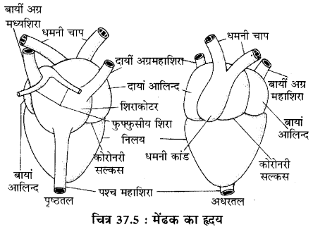 RBSE Solutions for Class 11 Biology Chapter 37 मेंढक img-10