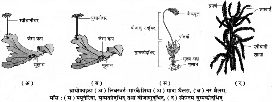 RBSE Solutions for Class 11 Biology Chapter 5 पादप जगत