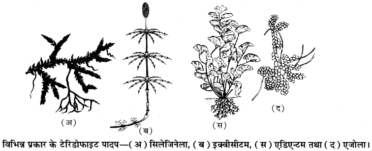 RBSE Solutions for Class 11 Biology Chapter 5 पादप जगत img-6