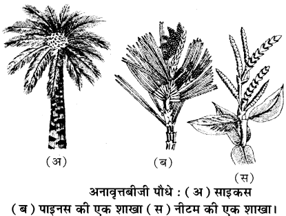 RBSE Solutions for Class 11 Biology Chapter 5 पादप जगत img-7