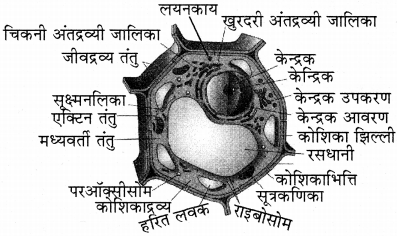 RBSE Solutions for Class 11 Biology Chapter 6 कोशिका