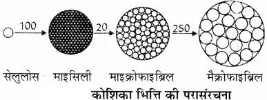 RBSE Solutions for Class 11 Biology Chapter 7 कोशिका भित्ति एवं कोशिका झिल्ली-संरचना एवं कार्य