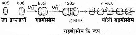 RBSE Solutions for Class 11 Biology Chapter 9 कोशिकांगों की संरचना तथा कार्य img-6