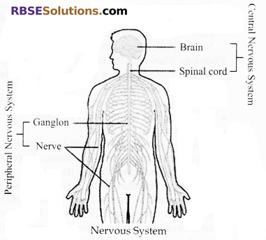 RBSE Solutions for Class 10 Science Chapter 2 Human System image - 2