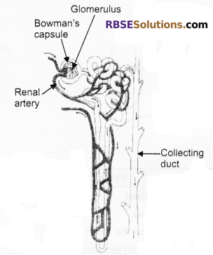 RBSE Solutions for Class 10 Science Chapter 2 Human System image - 5