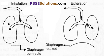 RBSE Solutions for Class 10 Science Chapter 2 Human System image - 6