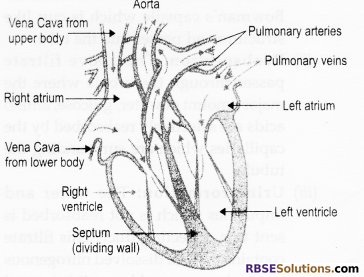 RBSE Solutions for Class 10 Science Chapter 2 Human System image - 7