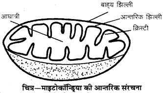 RBSE Solutions for Class 9 Science Chapter 6 सजीव की संरचना 1