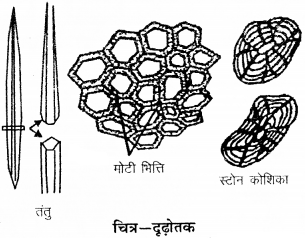 RBSE Solutions for Class 9 Science Chapter 6 सजीव की संरचना 19