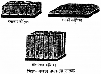 RBSE Solutions for Class 9 Science Chapter 6 सजीव की संरचना 20