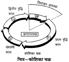 RBSE Solutions for Class 9 Science Chapter 6 सजीव की संरचना 4