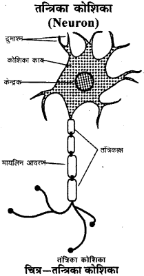 RBSE Solutions for Class 9 Science Chapter 6 सजीव की संरचना 9