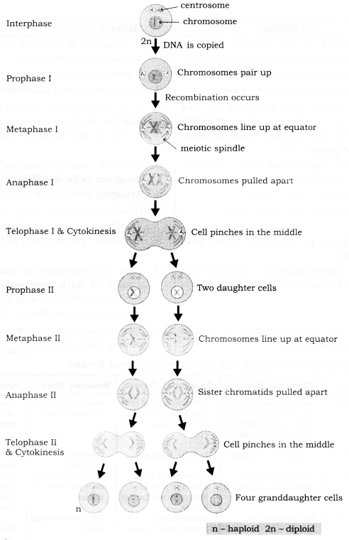 RBSE Solutions for Class 9 Science Chapter 6 Structure of Living Organisms 25